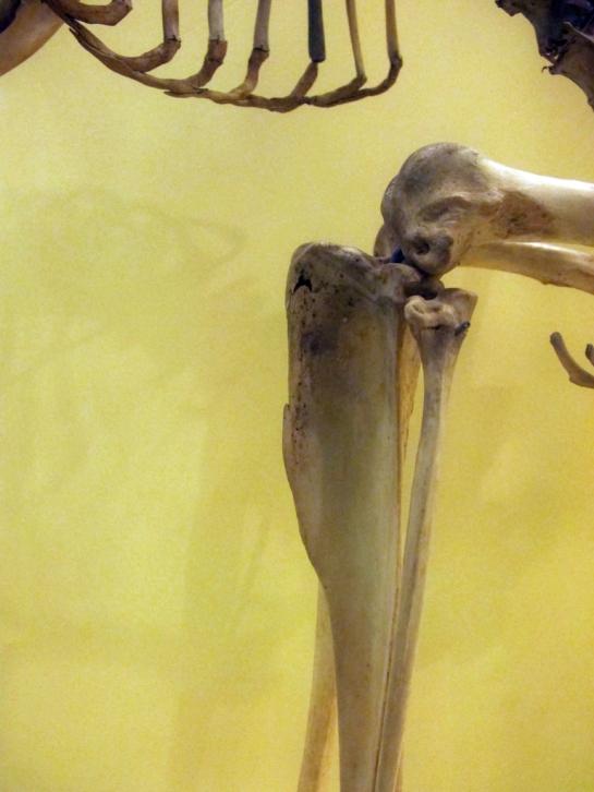 Kangaroo Shin Bone, Booth Museum