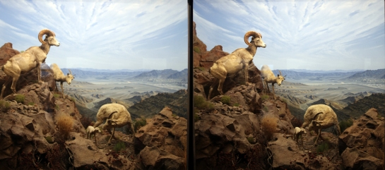 Mountain Big Horn Sheep