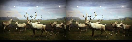 Caribou, Beaver Creek, Alaska. L.A. Natural History Museum