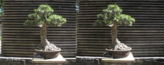Bonsai Trees at the Huntingdon