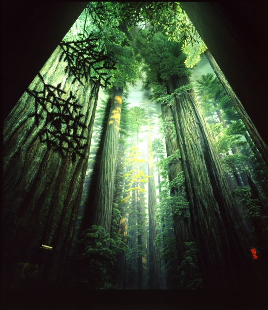 Coastal Redwood Diorama at the American Museum of Natural History - abnormal view