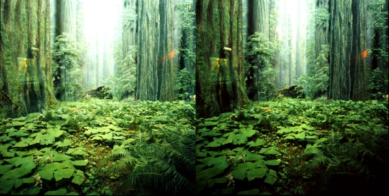 Coastal Redwood Diorama at the American Museum of Natural History in stereo